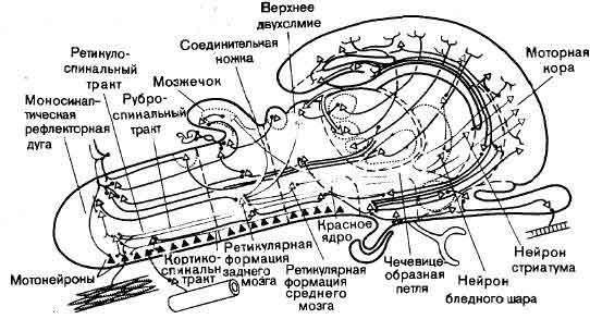 hypothalamus3